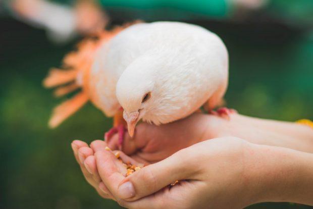 Selectia din randul porumbeilor