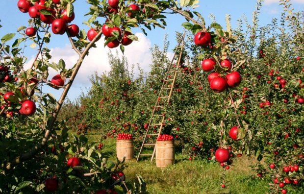 Stropirea pomilor fructiferi – iata ce ai nevoie pentru aceasta sarcina